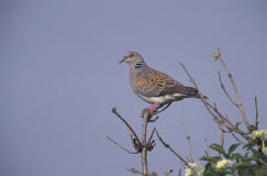 Turtle dove, Streptopelia turtur. Single bird on branch,  Spain Stock Photography