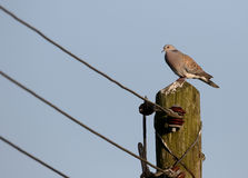 Turtle dove, Streptopelia turtur. Single bird on telegraph pole, Oxfordshire, June 2015 Royalty Free Stock Photo