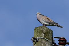 Turtle dove, Streptopelia turtur. Single bird on telegraph pole, Oxfordshire, June 2015 Stock Photos