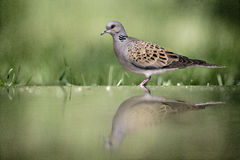 Turtle dove, Streptopelia turtur. Single bird at water, Hungary Stock Images