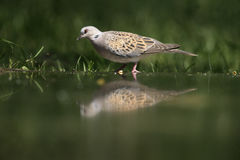 Turtle dove, Streptopelia turtur. Single bird at water, Hungary Royalty Free Stock Image