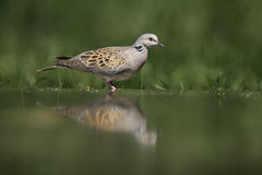 Turtle dove, Streptopelia turtur. Single bird at water, Hungary Stock Photography