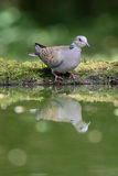 Turtle dove, Streptopelia turtur. Single bird by water, Hungary, May 2016 Royalty Free Stock Photos