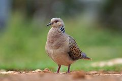 Turtle dove - Streptopelia turtur. Turtle dove standing on the gorund Royalty Free Stock Image