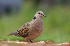 Turtle dove - Streptopelia turtur. Turtle dove standing on the ground Stock Photos