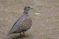 Turtle dove. Streptopelia turtur. Standing on pathway Royalty Free Stock Image