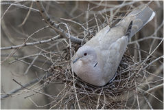 Turtle-dove taking care of her eggs. Stock Image