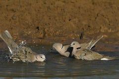 Turtle Dove Stock Photos