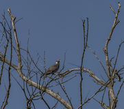 Turtle dove on tree in spring day Royalty Free Stock Photos