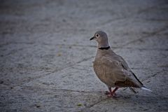 Turtle dove walking on the plaza floor stock images