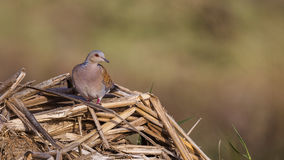 Turtle Dove on Woods Stock Photography