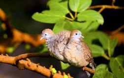 Turtle doves Stock Photos