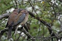 Turtle Doves in the rain Stock Image