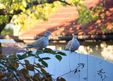 Turtle Doves Stock Images