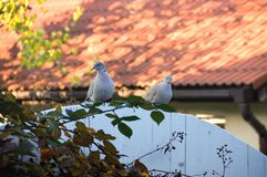 Turtle Doves Royalty Free Stock Images