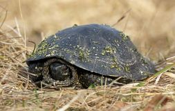 Turtle in the dry grass Stock Photos