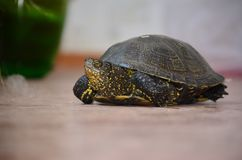 Turtle! Royalty Free Stock Photos