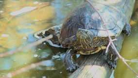 Turtle  stock video footage