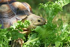 Turtle eating Stock Photo
