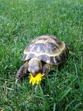 A turtle eating flower royalty free stock image