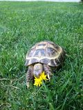 A turtle eating flower Stock Photography