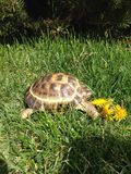 A turtle eating flower Stock Photo