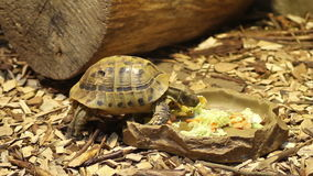 Turtle Eating Food. Turtle eating different vegetables, including salad and carrot stock video