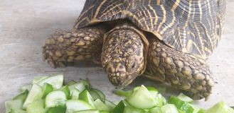 Turtle eating food royalty free stock photos