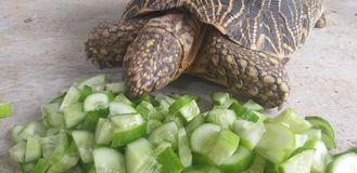 Turtle eating food royalty free stock photo