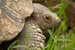 A turtle eating grass Royalty Free Stock Photos