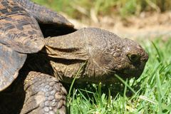 Turtle eating grass Royalty Free Stock Photos