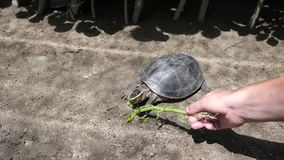 Turtle eating grass from hand of caucasian woman. In zoo stock video