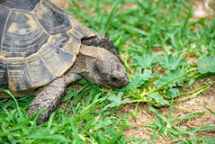 Turtle eating green grass Stock Images