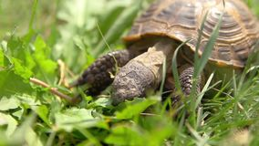 Turtle eating green lettuce leaves, macro shot stock video footage