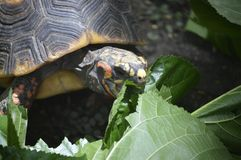 Turtle Eating Stock Photos