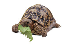 Turtle eating lettuce Stock Images