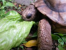 Turtle eating lettuce on the forest. Turtle eating lettuce shot with samsung galaxy s4 mini. Nature royalty free stock photos