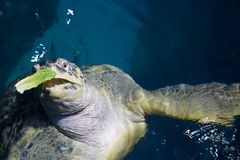 Turtle eating lettuce Stock Photos