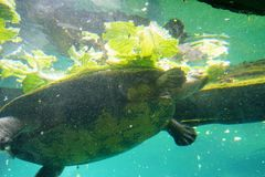 A turtle is eating lettuce. In clear blue water at a local aquarium, taken in Florida stock image