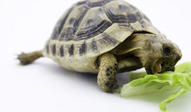 Turtle eating. Mediterranean Tortoise eating a lettuce leaf royalty free stock photo