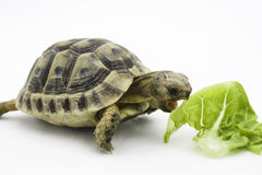 Turtle eating Stock Images