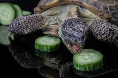 Turtle eating pile of cucumbers. Tortoise angrily feasting on cucumber Royalty Free Stock Images
