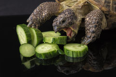Turtle eating pile of cucumbers. Tortoise angrily feasting on cucumber Royalty Free Stock Image