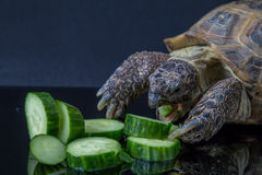 Turtle eating pile of cucumbers. Tortoise angrily feasting on cucumber Royalty Free Stock Photography