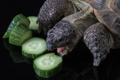 Turtle eating pile of cucumbers. Tortoise angrily feasting on cucumber Stock Photo