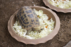 Turtle eating in pots Royalty Free Stock Image