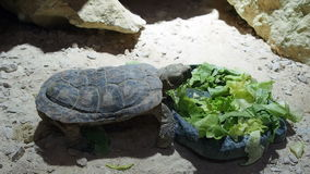 Turtle eating salad stock video footage