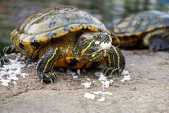 Turtle is eating some rice Stock Image