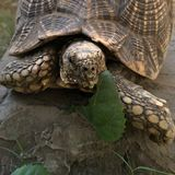 Turtle eating time Royalty Free Stock Images