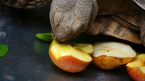 Turtle is Eating Vegetable and animal. And natural background stock video footage